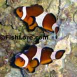 Clownfish Ocellaris