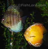 Symphysodon aequifasciatus - Discus Fish