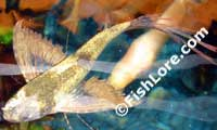 African Butterfly Fish on African Butterfly Fish 2 Jpg