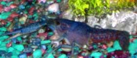 Blue Crayfish