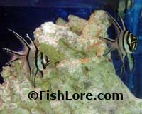 Bangfai Cardinalfish