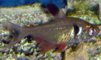 Black Phantom Tetra