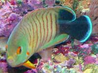 Eibli Angelfish