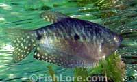 Trichogaster trichopterus