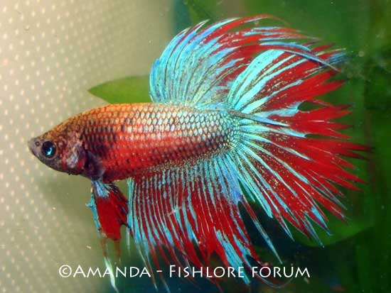 Freshwater Fish Species Profile and Betta Fish Care Information