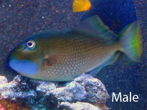 Male Blue Throat Triggerfish