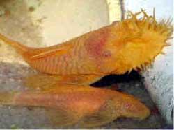 Albino Bristlenose Plecostomus Pair