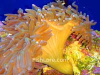 Bubble Tip Sea Anemone
