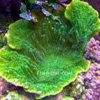 Montipora Capricornis Coral