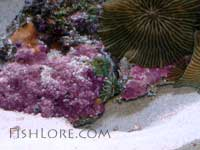 Diamond Goby Burrow