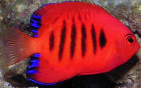 dwarf_flame_angelfish.jpg