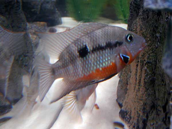 Firemouth Cichlid Care Size Lifespan Tankmates