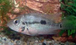 Firemouth Cichlid