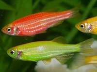 Red and Green Glofish