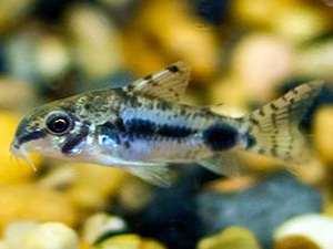 Salt and Pepper Cory - Corydoras Habrosus