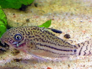 Leopard Catfish - Corydoras trilineatus