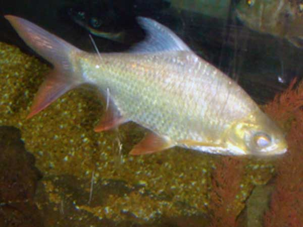 Tinfoil Barb And Oscar Ate the more in pet shops and breeding tinfoil ...