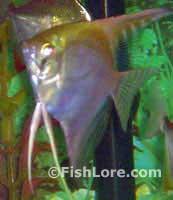 Pterophyllum scalare - Freshwater Angelfish