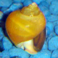 Gold Inca Snail