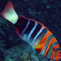 Harlequin Tuskfish