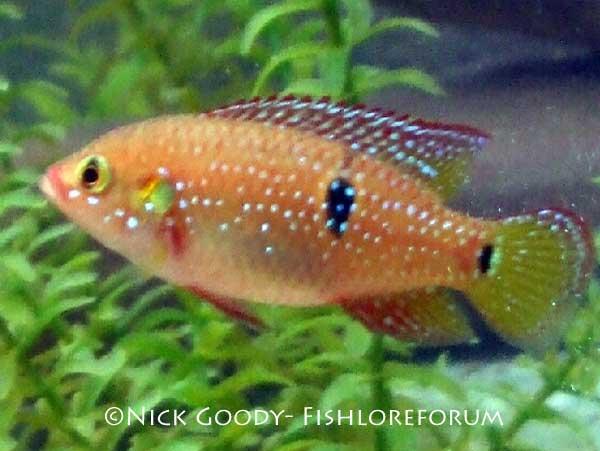 Red Jewel Cichlid Red jewel cichlid (hemichromis