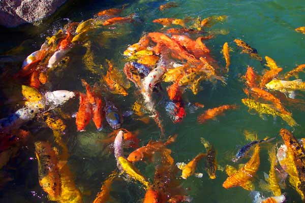 Koi fish koi pond fish for Pond fish varieties