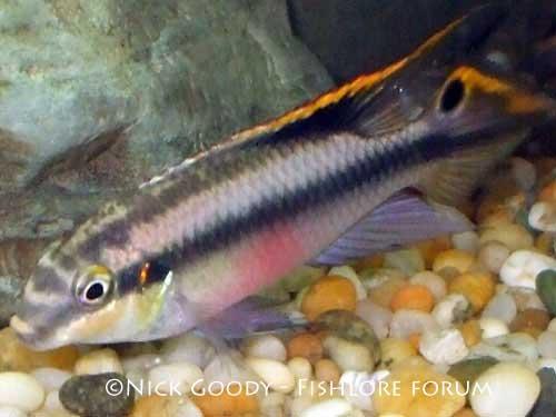 Cichlid Fish For Sale For Sale Kribensis Cichlid