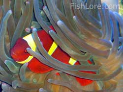 Gold Stripe Maroon Clownfish with Bubble Tip Anemone