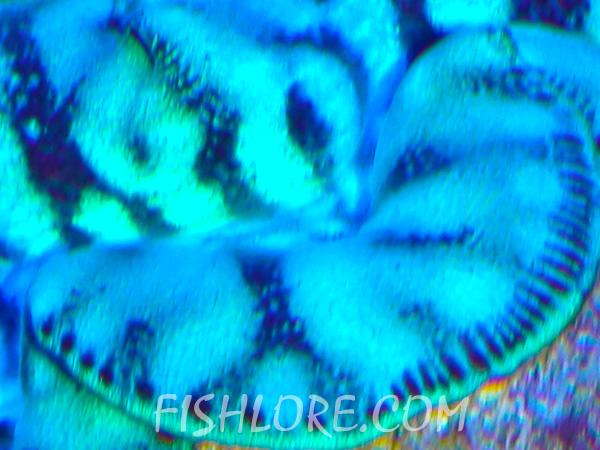 Close Up View of Maxima Clam Mantle