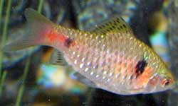Barb Fish | Barb Fish Species Cyprinids And Freshwater Sharks