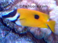 One Spot Rabbitfish Foxface