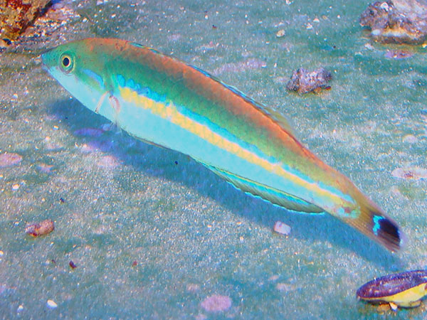 Pencil Wrasse side picture