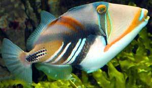 http://www.fishlore.com/Pictures/Profiles/picasso_triggerfish.jpg