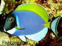 Blue Surgeonfish - Powder Blue Tang