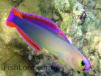 Nemateleotris decora - Firefish
