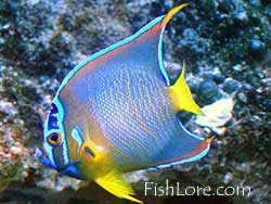 Queen Angelfish, Blue Angelfish