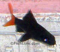 Red Tail Shark