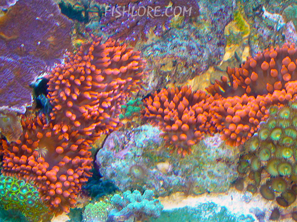 Rose Bubble Tip Anemone ... : anemone lighting requirements - azcodes.com