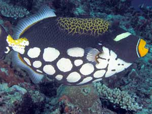 Male Clown Triggerfish