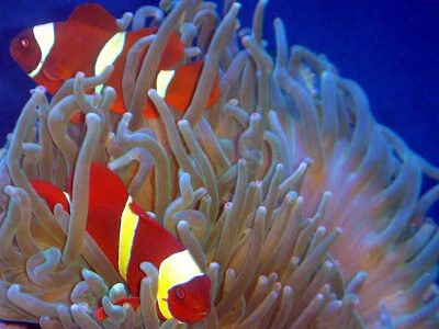 Clownfish pair in bubble tip anemone