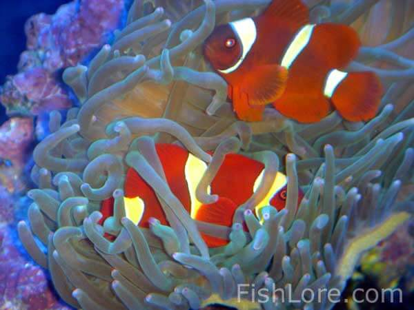 Maroon Clownfish inside anemone