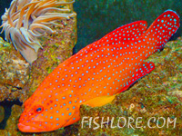 Coral Hind Grouper