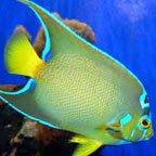 Large Angelfish
