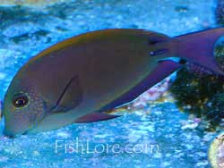 Picture of Lavender Tang