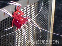 Blood Red Fire Shrimp