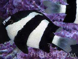 Three Striped Damselfish