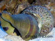 Turban Snail Picture