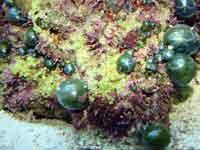Ventricaria ventricosa - Bubble Algae