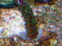 Acropora frag attached with Cg Coral Glue