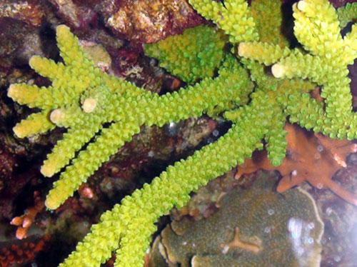 green acropora coral